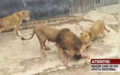 VIDEO socant! Un barbat sinucigas s-a aruncat hrana la lei! Vezi ce s-a intamplat!