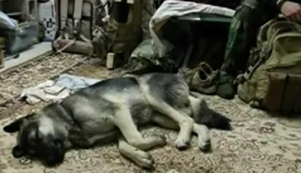 caine adoptat Irak4