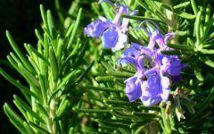 Elixirul tineretii! Plantele care reintineresc organismul