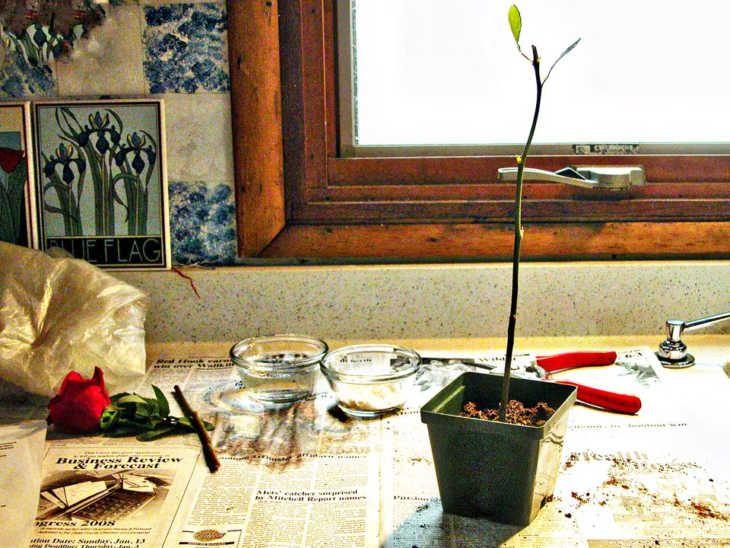 Cum poti face trandafirii taiati sa prinda viata in ghivecele tale?